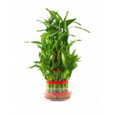Deals, Discounts & Offers on Home Decor & Festive Needs - Rolling Nature Beautiful Lucky Bamboo 2 Layer Plant