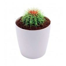 Deals, Discounts & Offers on Home Decor & Festive Needs - Gamlaa Barrel Cactus - Green with Rejoice Round White Pot