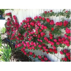 Deals, Discounts & Offers on Home Decor & Festive Needs - Rose Flower seed - Red Climbing Rose Climber seed - Pack of 10 seeds