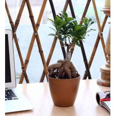 Deals, Discounts & Offers on Home Decor & Festive Needs - Nurturing Green Grafted Ficus Bonsai Plant