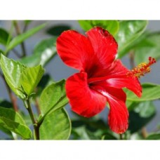 Deals, Discounts & Offers on Health & Personal Care - Hibiscus Flower Powder - Sembaruthi