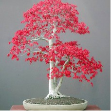 Deals, Discounts & Offers on Home Decor & Festive Needs - Rainbow Spring Seeds RedMapleBonsia Seed